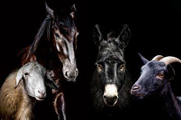 Schaf-Ziege und Ziegenbock-Pferd-Esel-Fleisch