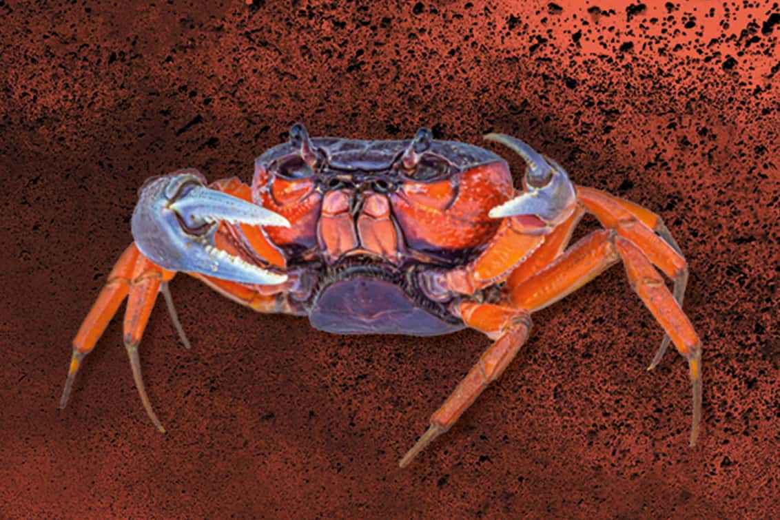 RP243-fb-crabs-6