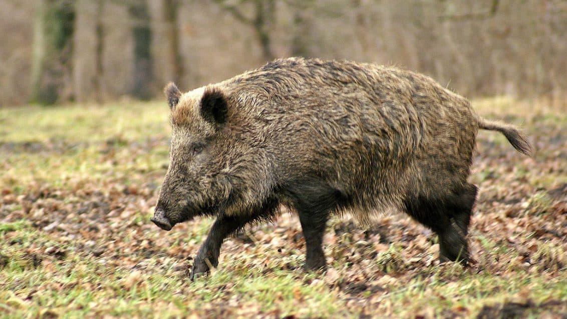 wildschwein-1132x637