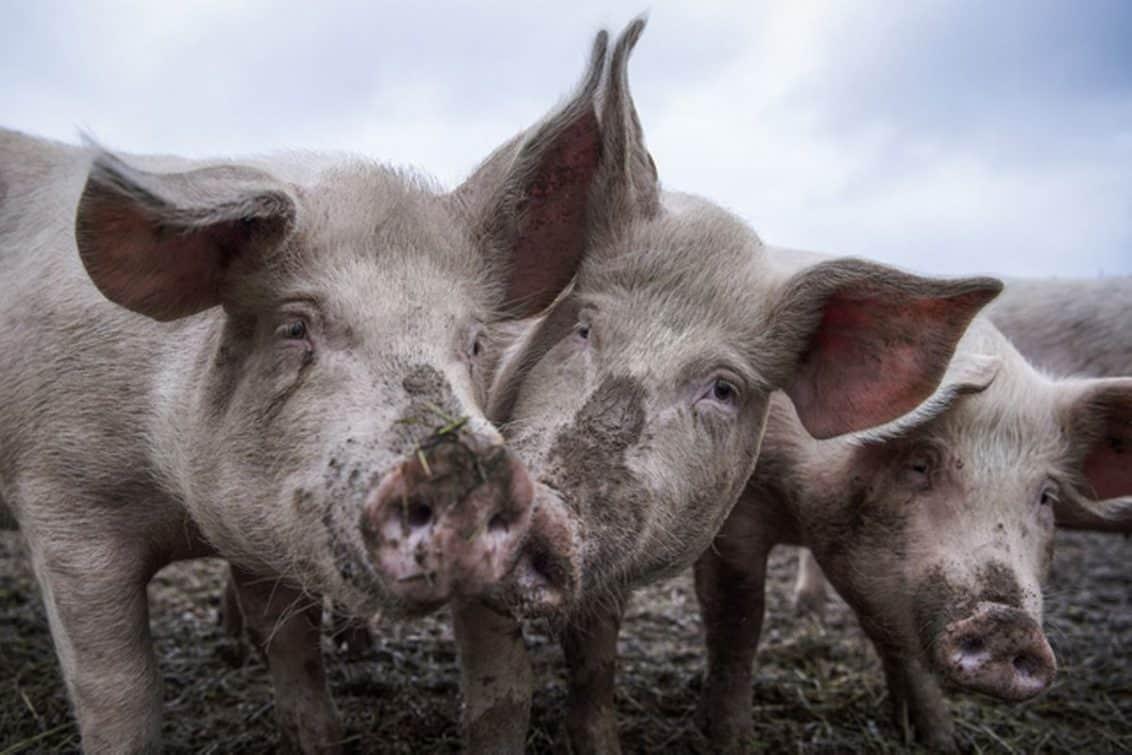 schweine-landwirtschaft-1132x755